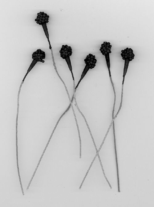 Anemone Center - Black - 3/8 inch head - 144 pieces