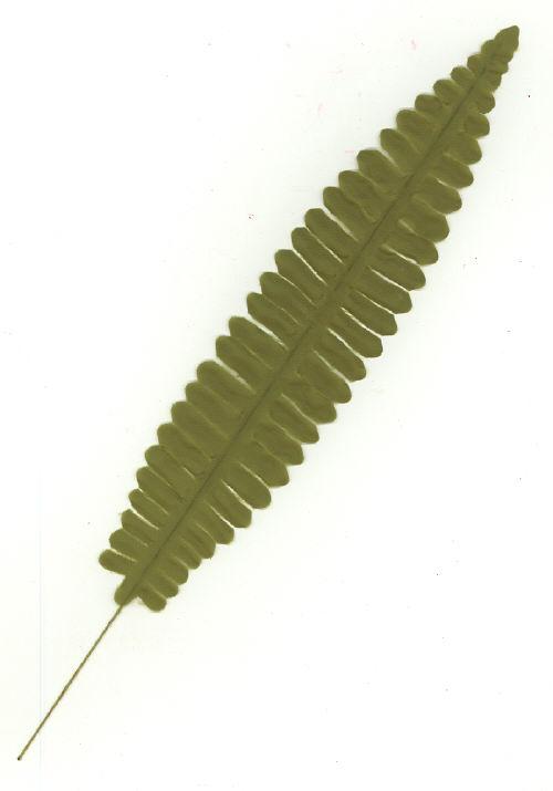 Boston Fern Leaf - 10 inch - 24 leaves