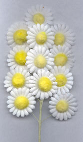Cotton Daisy